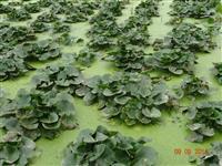 优质的睡莲,子午莲、水芹花,浙江*低价