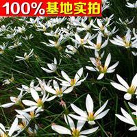 供应白花葱兰、白花葱兰苗、白花葱兰小苗、白花葱兰工程苗