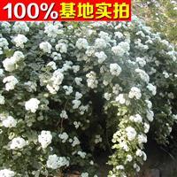 供应白蔷薇、白蔷薇苗、白蔷薇小苗、白蔷薇工程苗