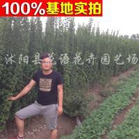 供应北海道黄杨、北海道黄杨苗、北海道黄杨工程苗