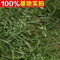供应草地早熟禾、草地早熟禾苗、草地早熟禾工程苗