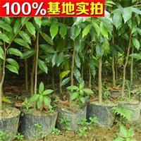 供应沉香、沉香苗、沉香小苗、沉香树苗、沉香树、沉香工程苗
