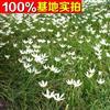 供应葱兰、葱兰苗、葱兰小苗、葱兰工程苗