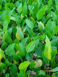 优质的泽泻水泽、如意花,浙江最低价