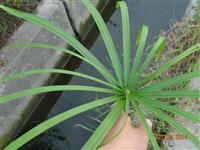 优质的旱伞草,水竹、伞草、水棕竹、风车草,浙江最低价