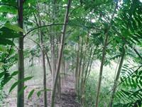大规格香椿树