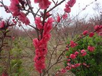红叶桃,江苏紫叶桃,产地红叶碧桃批发,紫叶碧桃
