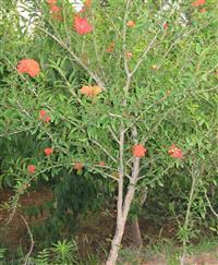 江苏石榴树,花石榴,果石榴树