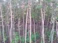 低价出售复叶槭2一4公分2万棵