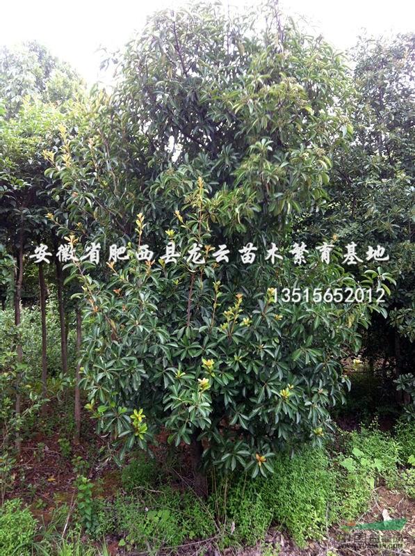 壁纸 成片种植 风景 树 植物 种植基地 桌面 597_799 竖版 竖屏 手机