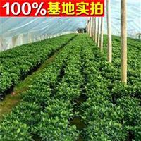 供应富贵籽、富贵籽苗、富贵籽小苗、富贵籽工程苗