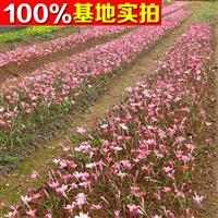 供应红花葱兰、红花葱兰苗、红花葱兰小苗、红花葱兰工程苗