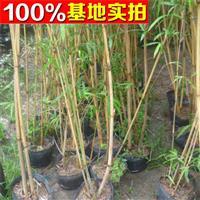 供应红竹、红竹苗、红竹小苗、红竹工程苗
