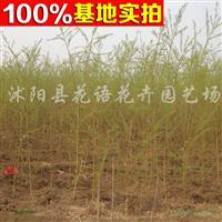 供应黄柳、黄柳苗、黄柳树、黄柳树苗、黄柳工程苗