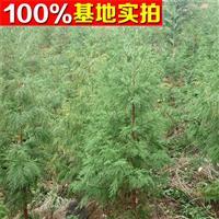 供应日本柳杉、日本柳杉苗、日本柳杉小苗、日本柳杉工程苗