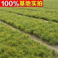 供应樟子松、樟子松苗、樟子松小苗、樟子松工程苗