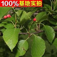 供应水榆花楸、水榆花楸苗、水榆花楸小苗、水榆花楸工程苗