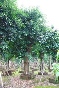 云南地区出售6-60公分高山榕
