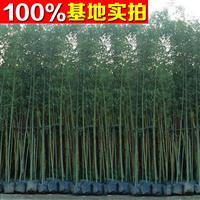 供应水竹、水竹苗、水竹小苗、水竹工程苗