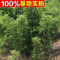 供应四季竹、四季竹苗、四季竹小苗、四季竹工程苗