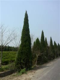 浙江蜀桧出售  棘、红叶石楠、红叶李、金叶大花六道木