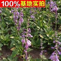 供应玉簪、玉簪苗、玉簪小苗、玉簪工程苗