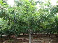 8公分樱桃树 山西樱桃树价格 8公分樱桃树价格_供应山西樱桃