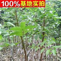供应油橄榄、油橄榄苗、油橄榄小苗、油橄榄工程苗