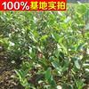 供应油茶、油茶苗、油茶小苗、油茶工程苗