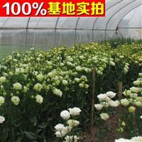 供应洋桔梗、洋桔梗苗、洋桔梗小苗、洋桔梗工程苗