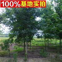 供应美国红枫、美国红枫苗、美国红枫树、美国红枫工程苗