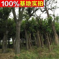 供应朴树、朴树苗、朴树小苗、朴树工程苗