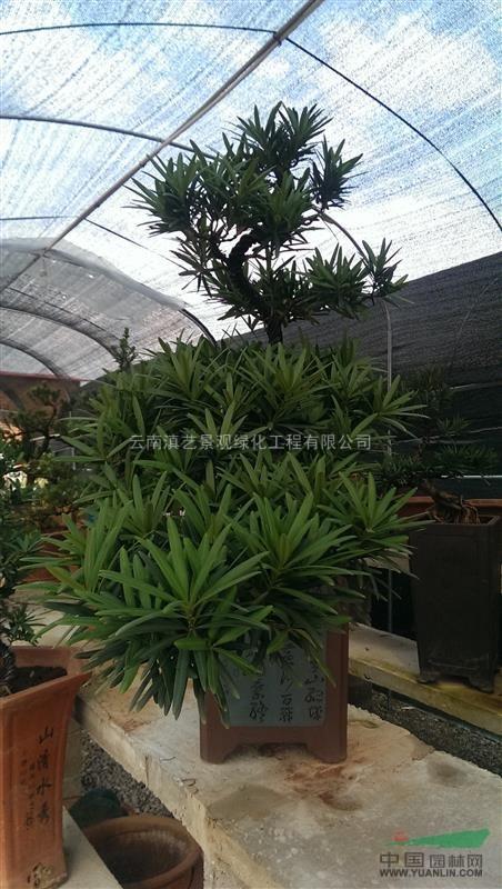 云南地区出售本土罗汉松(短大叶;中叶;长叶子)三个品种图片
