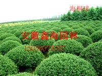 安徽低价供应 海桐球 海桐最好供应商 海桐大型基地