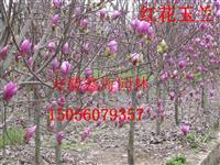 全国最低价供应 红花玉兰  香樟 乌桕 三角枫 朴树 无患子