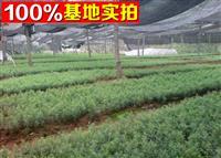供应南方红豆杉、南方红豆杉苗、南方红豆杉树、南方红豆杉工程苗