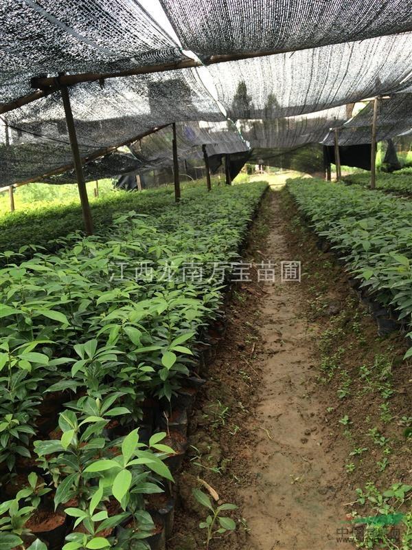 江西龙南供应金丝楠木杯苗10万株