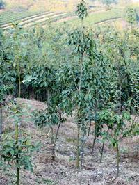 青冈栎4~5厘米
