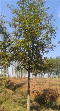 白玉兰树价格南京米经8公分白玉兰树价格信息。