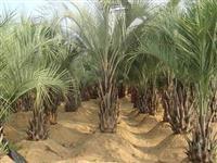 布迪椰子:托杆30-1-3米地苗,袋苗,自产自销