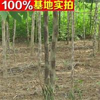 供应构树、构树苗、构树小苗、构树工程苗