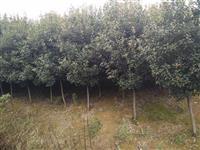 红叶石楠球  红叶石楠树