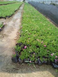 供应宿根草花地被植物,亮绿忍冬、美女樱、大花金鸡菊,佛甲草等
