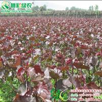 中华红叶杨小苗出售 小苗价格 城市绿化彩化 江西供应