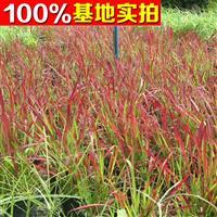 供应日本血草、日本血草苗、日本血草小苗、日本血草工程苗