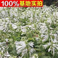 供应白花玉簪、白花玉簪苗、白花玉簪小苗、白花玉簪工程苗