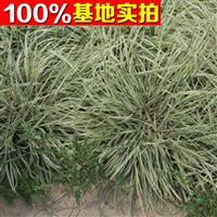供应花叶燕麦草、花叶燕麦草苗、花叶燕麦草小苗、花叶燕麦工程苗