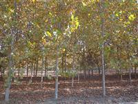 8公分速生法桐,杆直,树形好,成活率高,工程苗木首选