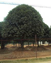 湖南桂花,湖南各种香樟树,罗汉松、金桂、四季桂花、红花继木、