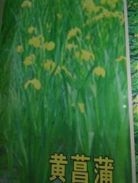 杭州萧山大量供应黄菖蒲800万芽,自产自销,价格优惠。